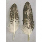 Immature Bald Eagle Body Feather
