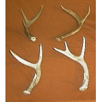 Two Point Deer Horns