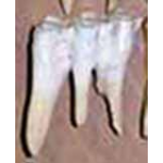 Buffalo Teeth - Large Molar