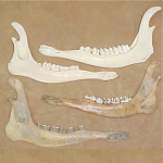 Deer Jaw Bone