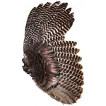 Bronze Turkey Wing