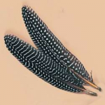 Guinea Hen Wing Feathers