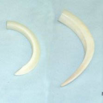 Wild Boar Tusks